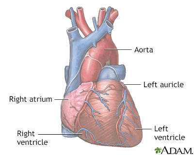 Normal anatomy of the heart